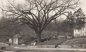 Old photo of the Constitutional Elm in Corydon