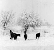 Ted, Lady, Nellie, Skippy in Corydon 1947